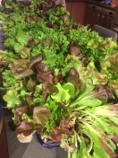 Living greens from Radicle Farm